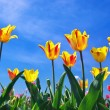 Tulips on sky — Stock Photo #18741973