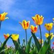 Tulips on sky — Stock Photo