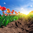 Stock Photo: Meadow of tulips