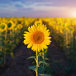 Individual sunflower. — Foto Stock