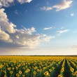 Field of sunflowers. — Foto Stock