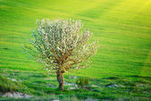 Lonely tree in meadow — Stock Photo