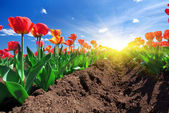 Meadow of tulips — Stock Photo