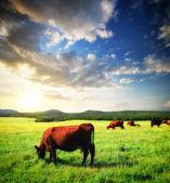 牛在草地上 — 图库照片