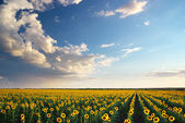 Field of sunflowers. — Stock Photo