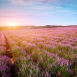 Meadow of lavender - Stock Photo
