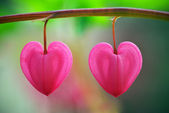 Two heart flower — Stock Photo