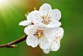 Fleur de printemps. — Photo