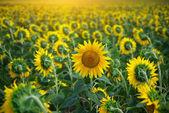 Individual sunflower — Stock Photo