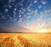 Prado de trigo — Foto de Stock