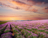 Meadow of lavender — Stock fotografie