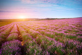 Meadow of lavender — Stock Photo