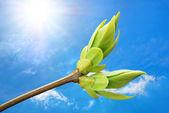 Spring bud. — Stock Photo
