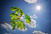 Hermosas hojas de castaño. — Foto de Stock