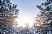 Neve ramos — Foto Stock