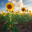 Stock Photo: Field of sunflowers.