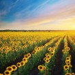 Stock Photo: Big field of sunflowers.