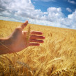 Human hand ahd wheat — Stock Photo