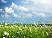 Meadow of daisy — Foto Stock