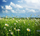Meadow of daisy — Stock Photo