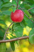 Red apple on branch — Stock Photo