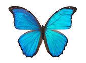 Butterfly morpho — Stock Photo