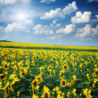 Stock Photo: Big field of sunflowers