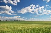 Meadow of wheat — Stock Photo