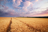Meadow of wheat. — Stock Photo