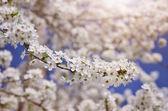 Ramo del grande albero bianco. — Foto Stock