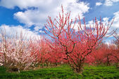 Orchard garden — Foto Stock