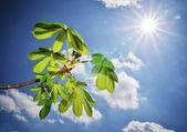 Beautiful leafs of chestnut. — Stock Photo