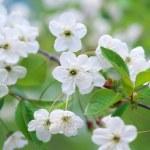 Spring tree flower. — Stock Photo