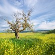 Old tree in spring meadow — Stock Photo #48991177