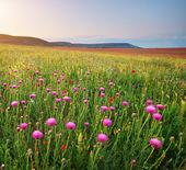 Silybum flowers — Stock Photo