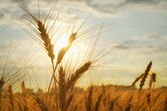 Cereal of wheat  — Stock Photo