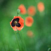Spring  poppy — Stock Photo