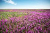 Violet meadow  — Stock Photo