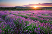 Meadow of lavender. — Stock Photo