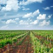 Vineyard — Stock Photo #50559003