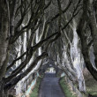The Dark Hedges — Stok fotoğraf