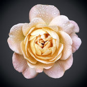 Yellow-pink rose — Stock Photo