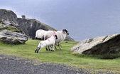 The Black Face Mountain Sheep — Stock fotografie