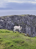 The Black Face Mountain Sheep — Stock Photo