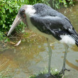 Marabou stork — Stock Photo