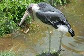 Marabou stork — Stock Photo