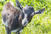 Little gray goat without of small horns — Stock Photo