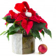 Poinsettia isolated on white — Stok fotoğraf