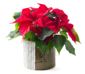 Poinsettia isolated on white — Stock Photo