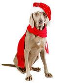 Santa dog — Stock Photo